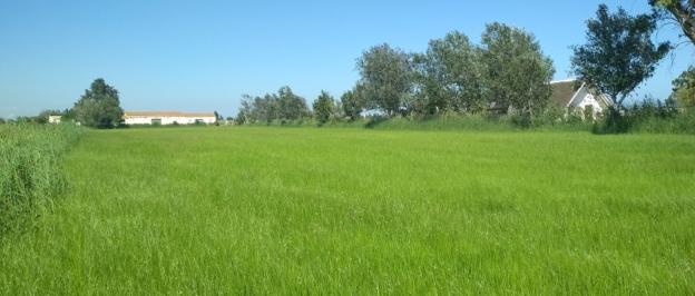 El arroz ecológico de Riet Vell en el delta del Ebro en pleno desarrollo.
